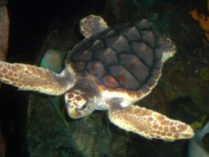 1280px-loggerhead_turtle